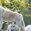 New Beauval wolves