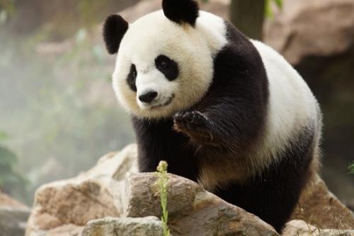 zoo-parc-de-beauval-en_panda