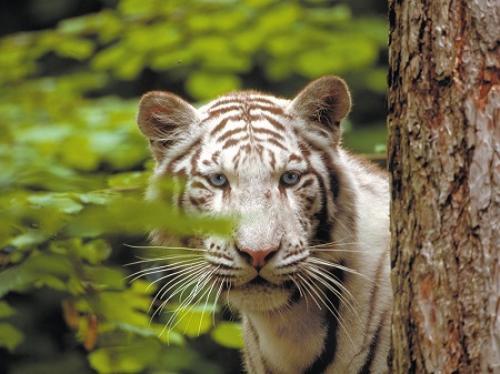 zooparc-de-beauval-es_tigre