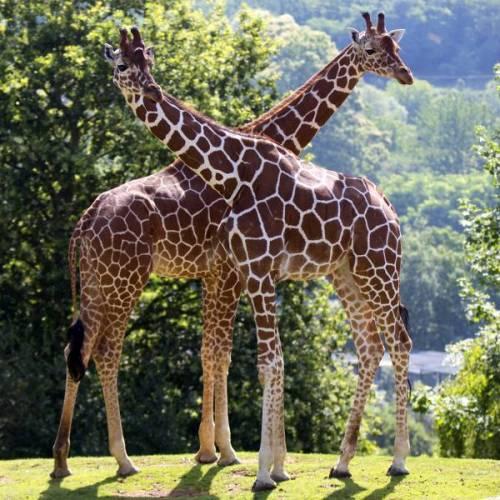 zooparc-de-beauval_giraffe