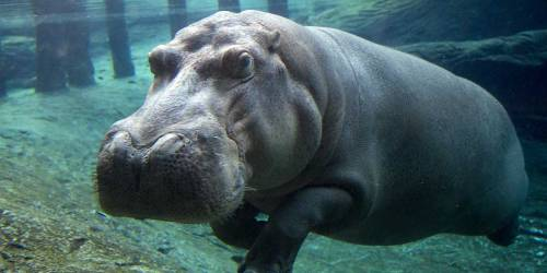 zooparc-de-beauval_hippo