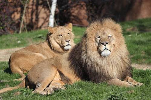 zooparc-de-beauval_lions