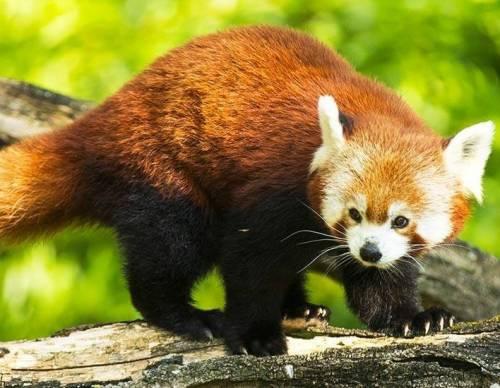 zooparc-de-beauval_panda_roux