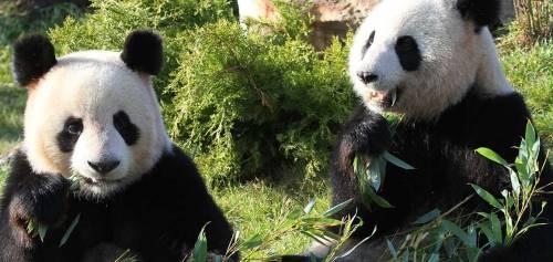 zooparc-de-beauval_pandas
