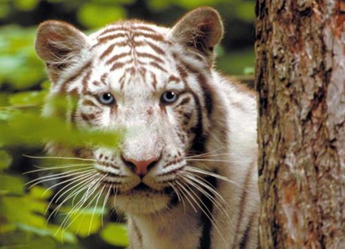 zooparc-de-beauval_tigre